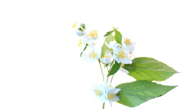 schöne weiße jasminblüten auf einem ast, der auf weißem hintergrund isoliert ist - jasmin stock-videos und b-roll-filmmaterial