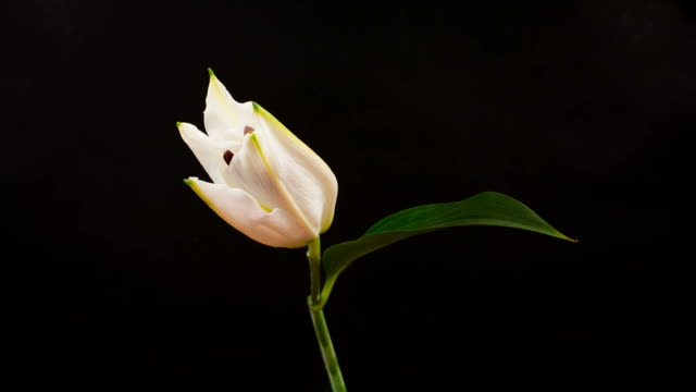 Beautiful White Lily Time Lapse video