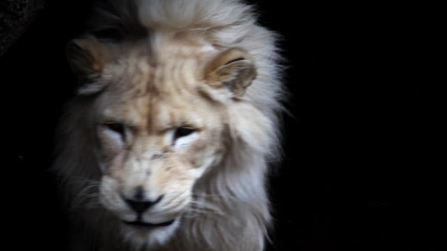 Beautiful white lion in shadow video