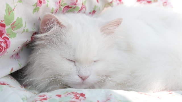 beautiful, white, long-haired persian cat, ragdoll cat - рэгдолл стоковые видео и кадры b-roll