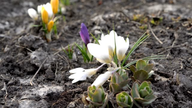 Beautiful white, purple and yellow Crocus flowers in the spring at sunset. Close up. View from ground level. 4K. 25 fps. Beautiful white, purple and yellow Crocus flowers in the spring at sunset. Close up. View from ground level. 4K. 25 fps. first occurrence stock videos & royalty-free footage