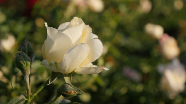 庭浅いdof 4kで美しい白いバラの花の芽 - イヌバラ点の映像素材/bロール