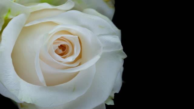 vackra vita rosor blommar film montage - white roses bildbanksvideor och videomaterial från bakom kulisserna