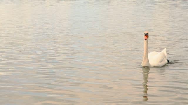 schöne weiße schwan schwimmen im see, im freien im park hd 1920x1080 - schwan stock-videos und b-roll-filmmaterial