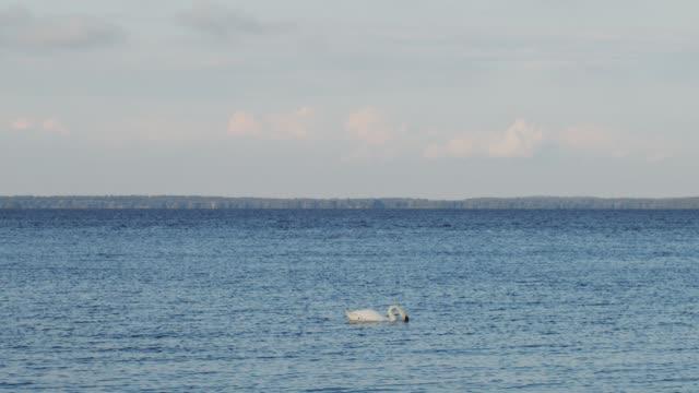 Beautiful white swan swimming on water surface