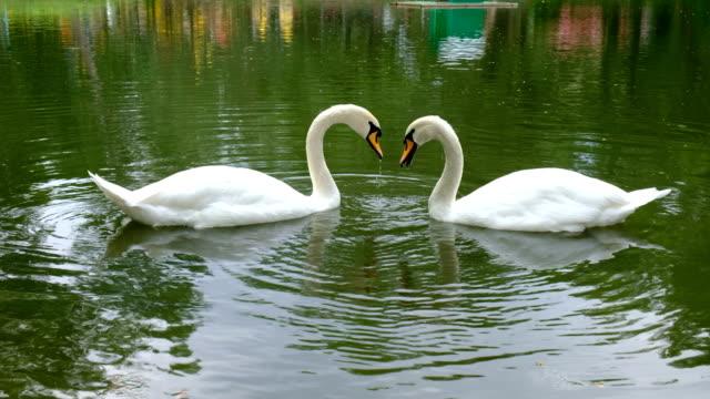 schöne weiße schwäne schwimmen in see. konzept places for animals zu retten. - schwan stock-videos und b-roll-filmmaterial