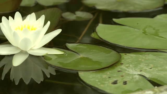 vídeos de stock, filmes e b-roll de lírio de água branca bonita na lagoa. - lotus