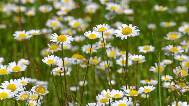 Beautiful wild flowers on the meadow in springtime (Anthemis Ruthenica)