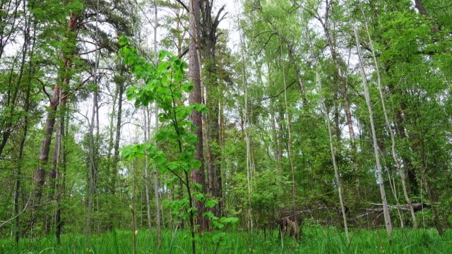 vídeos y material grabado en eventos de stock de hermoso bosque salvaje después de la lluvia. - pino conífera