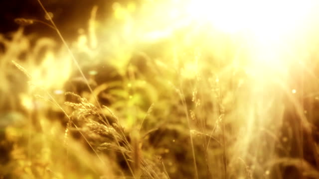 Beautiful wild grass with lens flare video