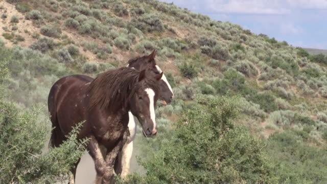 Beautiful Wild Horses beautiful wild horses in sand wash basin Colorado in summer mustang wild horse stock videos & royalty-free footage