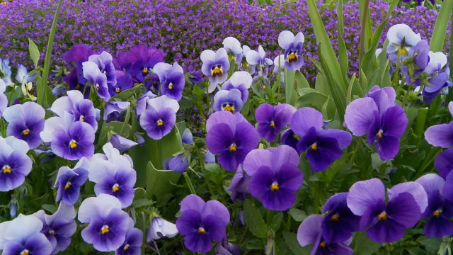 HD DOLLY: Beautiful Wild Pansies video