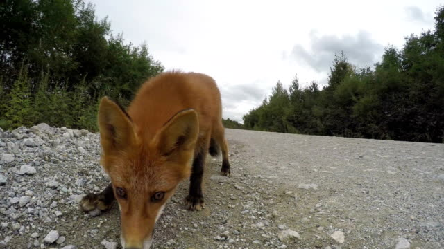 Beautiful wild red fox biting camera on road video