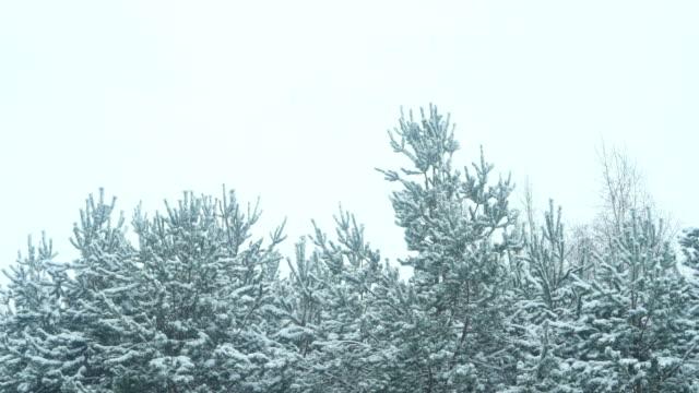 schönen winter waldlandschaft - kiefernwäldchen stock-videos und b-roll-filmmaterial