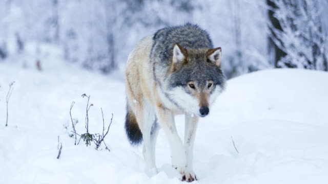 beautiful wolf walking closer to camera in snowy winter landscape - lupo video stock e b–roll