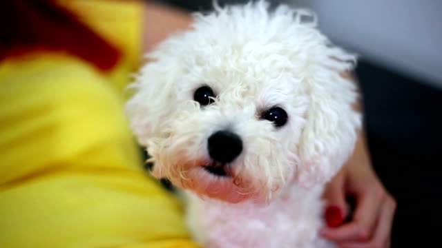 beautiful woman hugging her cute little puppy - bichon frisé video stock e b–roll