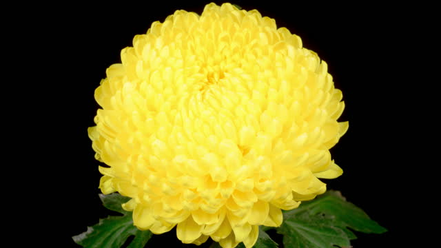 Beautiful Yellow Chrysanthemum Flower Opening video