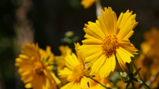 beautiful yellow coreopsis auriculata flower in the garden - coreopsis lanceolata video stock e b–roll