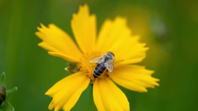 beautiful yellow coreopsis auriculata flower in the garden. - coreopsis lanceolata video stock e b–roll