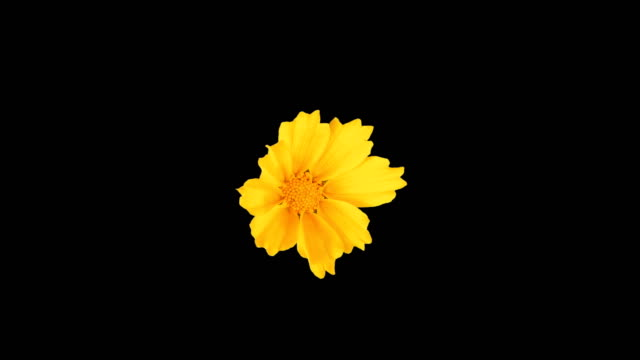 A beautiful yellow Coreopsis flower is blooming. Time lapse.Isolated on a black background.