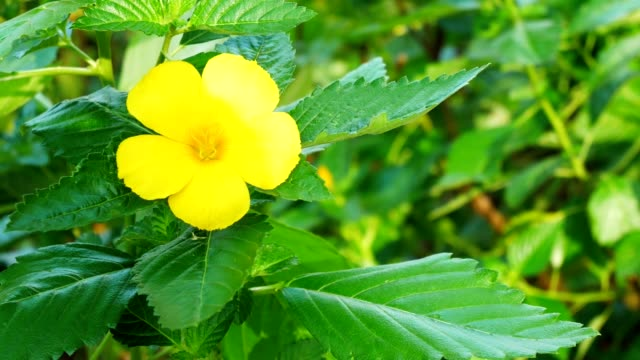 Beautiful Yellow flower blooming in the green Nature Background, close-up Video 4k Footage Clip