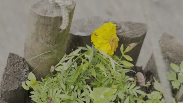 Beautiful yellow flower in a wooden pot