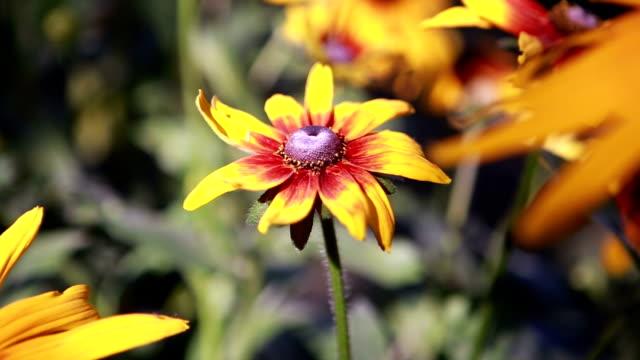 bellissimi fiori gialli la rende fluente a vento - coreopsis lanceolata video stock e b–roll