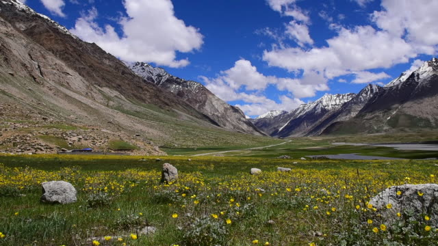 Beautiful yellow flowers meadow with Himalayas range background at Jammu Kashmir,north India