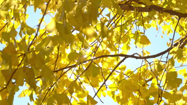 4K Beautiful yellow ginkgo biloba leaves on ginkgo tree swaying in the wind with sunlight passing through ginkgo leaf in autumn sunny day at Tokyo City, Japan. Beauty nature in autumn concept. 4K Yellow ginkgo leaves swaying in the wind ginkgo tree stock videos & royalty-free footage