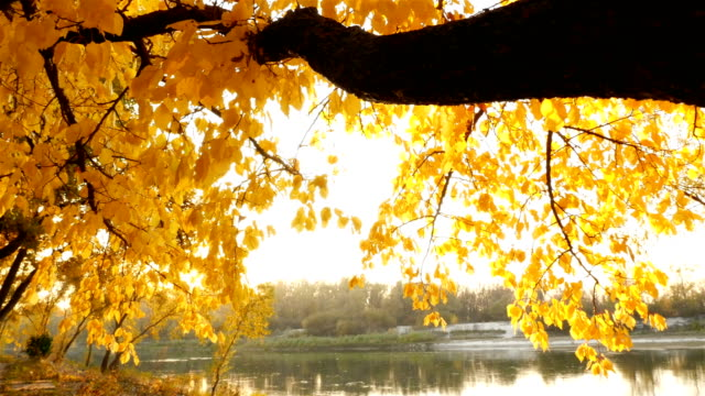 Beautiful yellow leaves on a tree in the background of the river. Golden autumn. Camera moves video