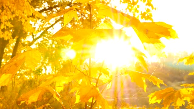 Beautiful yellow leaves on the trees. Golden autumn. rays of the sun through the leaves video