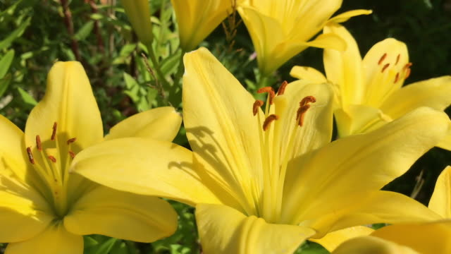 Beautiful yellow lily flower extreme close up. High quality FullHD footage