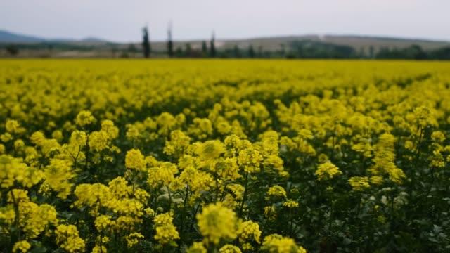 vídeos y material grabado en eventos de stock de hermoso campo de colza amarillo nublado en primavera - insecto himenóptero