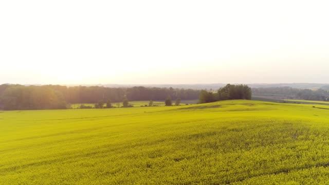 beautiful yellow rapeseed field - canola video stock e b–roll