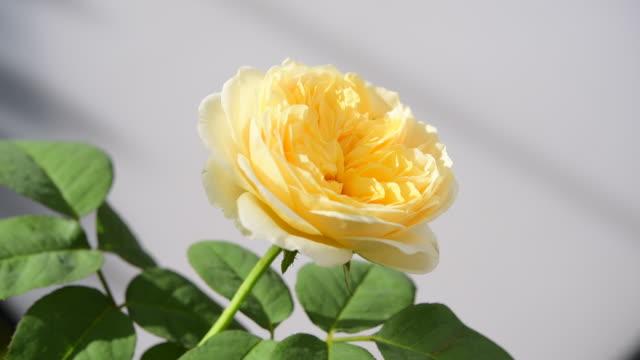 vidéos et rushes de belle rose jaune dans le jardin avec la lumière et l'ombre de matin. - composition florale
