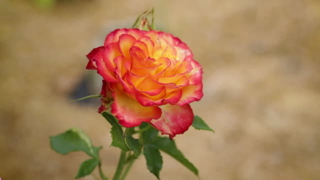 beautiful yellow rose with a red tint on an orange video