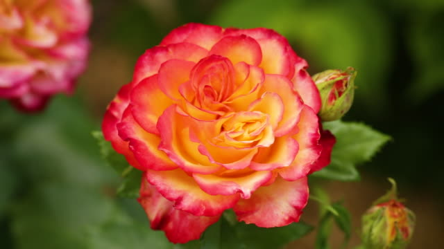 beautiful yellow rose with a red tint video