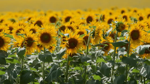 Beautiful yellow sunflower flowers blooming in a field on sunny day. The bees on the sunflower head pollen collecting nectar for honey. Agriculture theme, rich organic harvest for oil extraction Beautiful yellow sunflower flowers blooming in a field on sunny day. The bees on the sunflower head pollen collecting nectar for honey. Agriculture theme, rich organic harvest for an oil extraction. arthropod stock videos & royalty-free footage