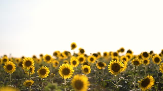 夏の畑の美しい黄色のひまわり。オレンジ色のひまわり畑。 ビデオ