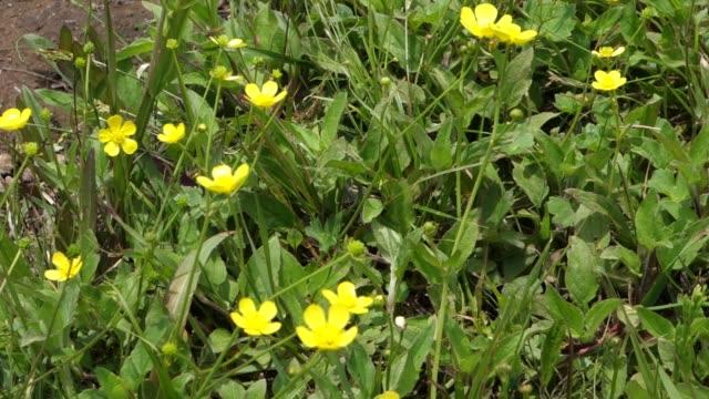 beautiful yellow wild flower in japan - kawaii video stock e b–roll