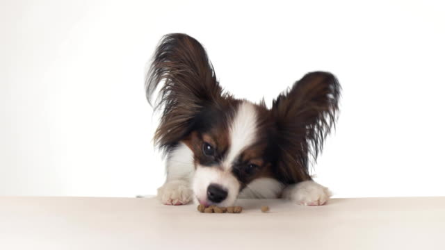 Beautiful young male dog Continental Toy Spaniel Papillon eating a dry food close-up on white background stock footage video video