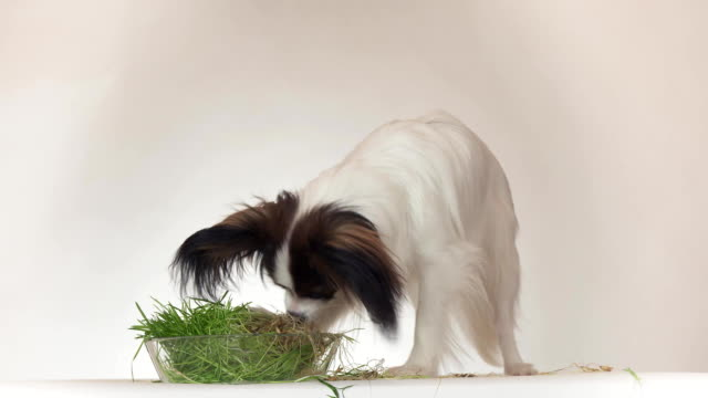 Beautiful young male dog Continental Toy Spaniel Papillon eating fresh sprouted oats on white background stock footage video video