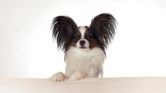 Beautiful young male dog Continental Toy Spaniel Papillon looks around close-up on white background stock footage video video