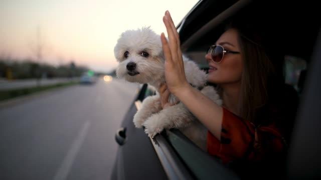 vídeos de stock, filmes e b-roll de mulher nova bonita com os óculos de sol que sentam-se no banco traseiro do carro com o cão maltês nas mãos - veículo terrestre