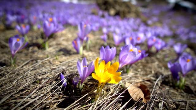 vídeos de stock, filmes e b-roll de beleza das flores selvagens da primavera açafrão florescendo na primavera - flor temperada