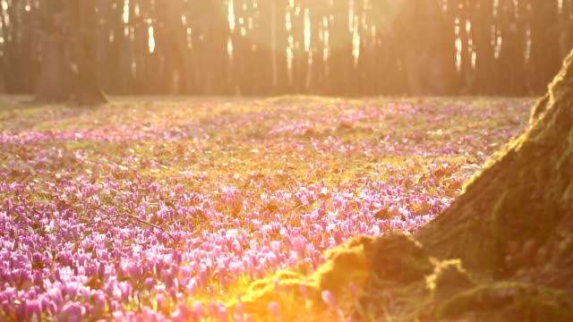 vidéos et rushes de beauté de crocus de fleurs de printemps wildgrowing qui fleurit au printemps. domaine du sauvages crocus violets avec vallée arbres chênes au coucher du soleil. - crocus