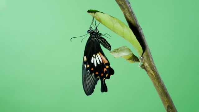 Beautyful Butterfly green screen Beautyful Butterfly green screen 4k butterfly insect stock videos & royalty-free footage