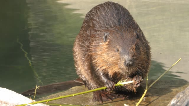 Beaver chewing on a stick video