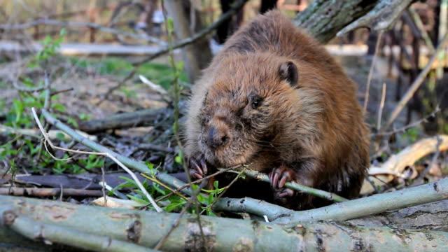 Beaver manger Branch - Vidéo