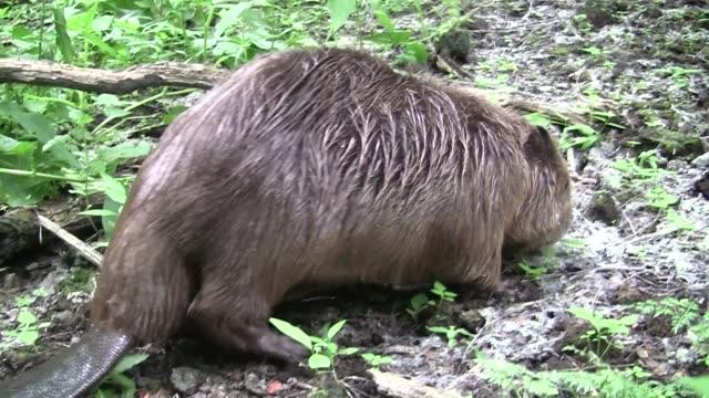 Biber in natürlichen Umgebung essen – Video